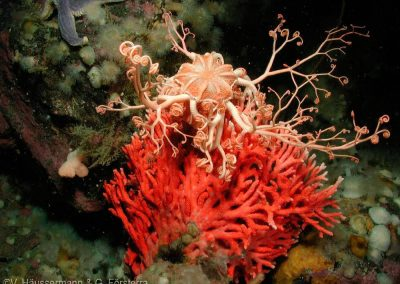 Gorgonocephalus-chilensis-Chilean-basket-star-on-Errina-Antarctica-Red-hydrocoral